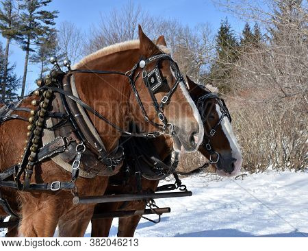 Sweet Pair Of Chestnut Draught Horses In The Snow.