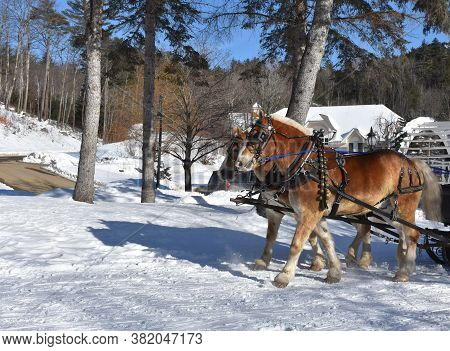 Sleigh With Pulling Draught Horses In The Winter