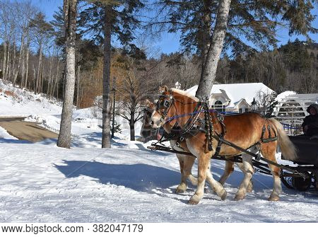 Chestnut Draught Horse Team Pulling A Sleigh In The Snow.