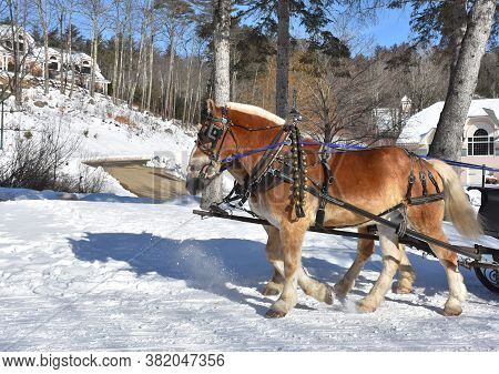 Team Of Chestnut Draft Horses Pulling A Sleigh In The Snow.