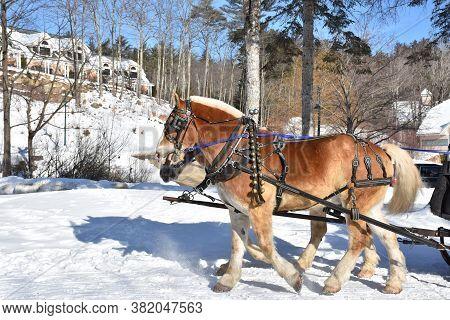 Sweet Pair Of Chestnut Draft Horse Team Pulling A Sleigh.