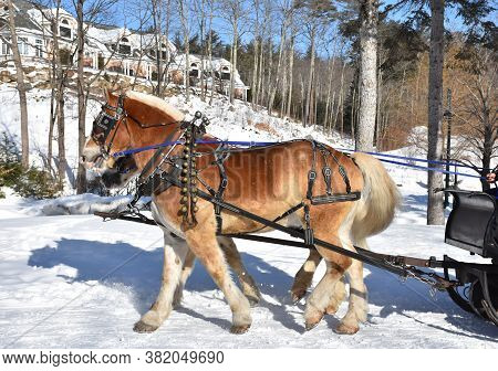 Pair Of Percheron Horses Pulling A Sleigh In The Snow.