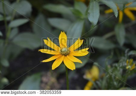 Gloriosa Daisy Irish Eyes - Latin Name - Rudbeckia Hirta Irish Eyes