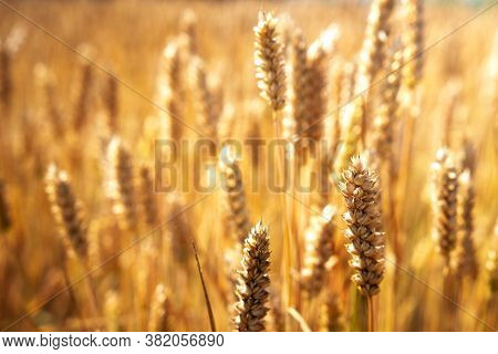 Rich Harvest Of Wheat. Gold Spikelets. Ripe Wheat Ready For Harvesting.