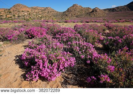 Brightly colored wildflowers in the arid landscape of Namaqualand, Northern Cape, South Africa