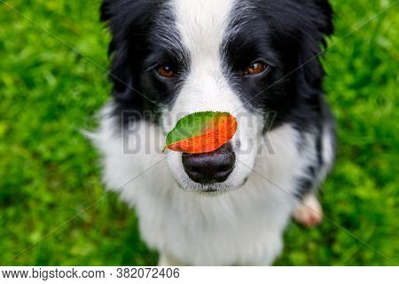 Outdoor Portrait Of Cute Funny Puppy Dog Border Collie With Red Fall Leaf On Nose Sitting In Autumn