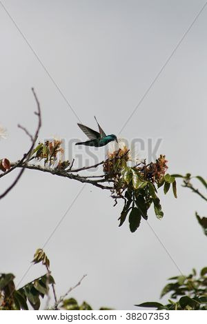 A Sparkling Violetear Hummingbird hovers while pollinating a flower on a fruit tree in Cotacachi, Ecuador poster
