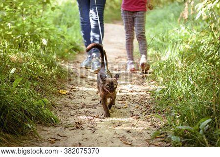 Burma Cat With Leash Walking Outside, Collared Pet Wandering Outdoor Adventure. Burmese Cat Wearing