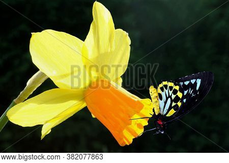 Cairns Birdwing Latin Name Ornithoptera Euphorion On A Daffodil Latin Name Fnarcissus Tete-a-tete Fl