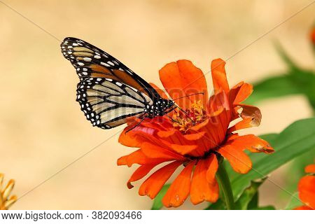 Hungry Monarch Butterfly Feeding On A Large Orange Flower.