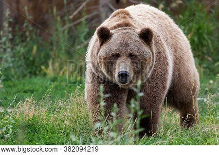 Bozeman, Montana / Usa - July 21, 2014:  Brutus The Bear Walks Through The Tall Grass At The Outdoor