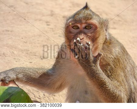A Macaque Eating A Coconut In Cambodia