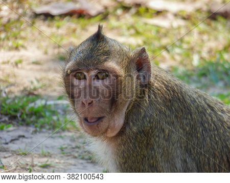 A Macaque Monkey On The Ground In Cambodia