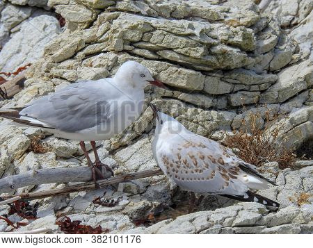 Mother And Juvenile Red Billed Gull On South Island New Zealand