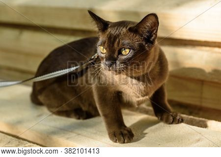 Burmese Cat With Leash Walking On Lumber, Collared Pet Is On Wood Planks Outdoor. Burma Cat Wearing
