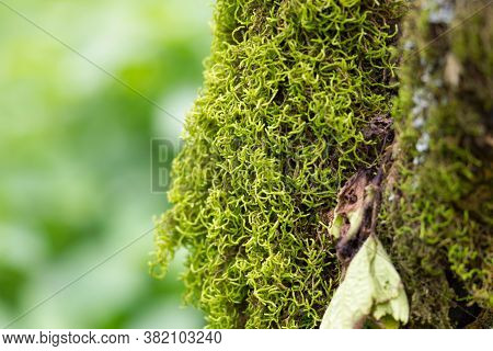 Clumps Of Moss, High Angle View, Side Shot, Climbing On The Tree Trunk On High Mountain In Tropical