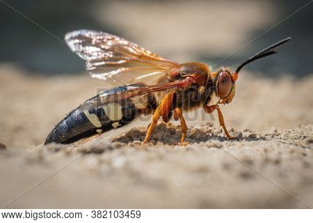 This Menacing Looking Insect Looks Like A Hornet, But It's Actually A Cicada Killer Wasp. They Don't