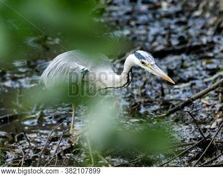 A Gray Heron, Ardea Cinerea Jouyi, Wades Through A Muddy Wetland Pond In A Park Near Yokohama, Japan