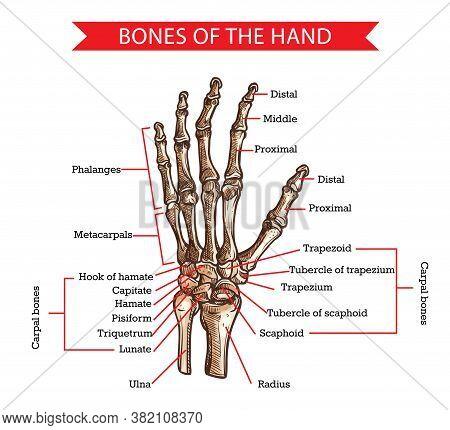 Hand And Wrist Bones Vector Sketch Of Human Anatomy And Medicine Design. Hand Drawn Arm Of Skeleton
