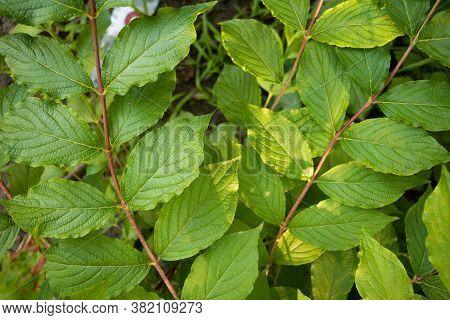 Cornelian Cherry - Cornus Mas. With Beautiful And Lush Leaves