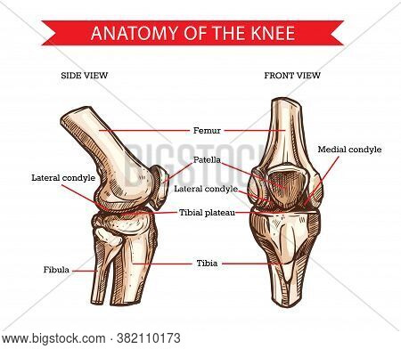 Anatomy Of Human Knee Vector Sketch Of Leg Bones And Joint, Medicine Design. Side And Front View Of