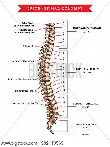 Human Spine Bones Anatomy, Vector Sketch Of Skeleton Backbone Or Vertebral Column. Cervical, Thoraci
