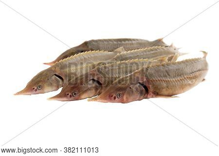Five Fishes Sterlet Isolated On White Background. Fresh Fish For Cooking. Selective Focus.