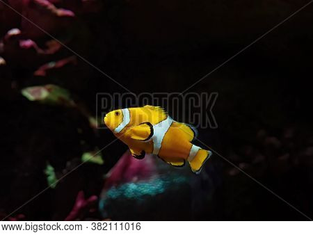 Closeup Clownfish Or Anemonefish Isolated On Nature Background