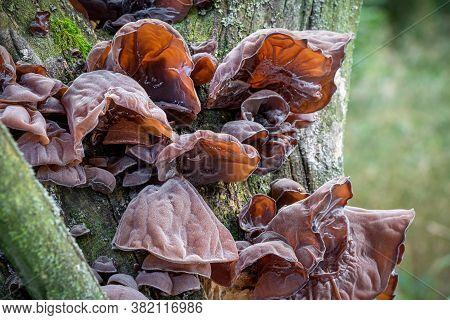 Edible And Healthy Mushrooms Known As Jews Ear, Wood Ear Or Jelly Ear (auricularia Auricula-judae)