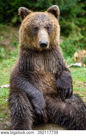Brown Bear Sitting In Funny Pose