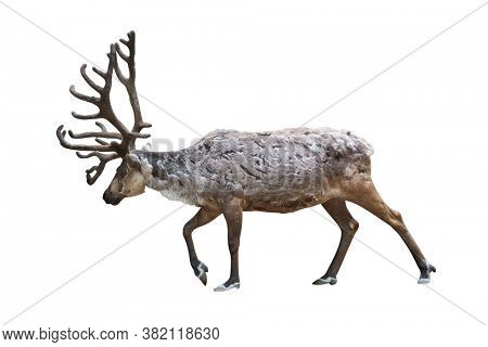one reindeer isolated on white background