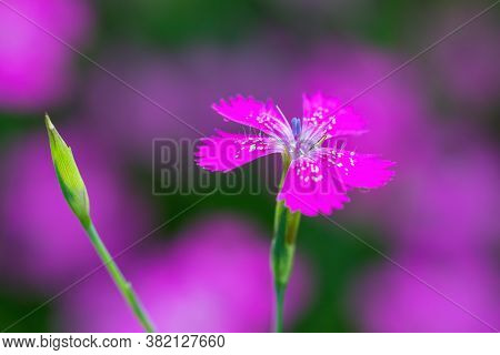 Macro Of Beautiful Small Pink Flower Dianthus Maiden Pink ( Dianthus Deltoides)