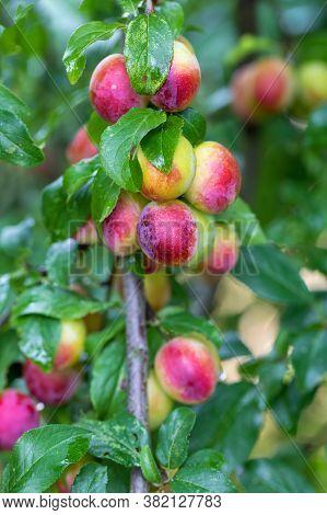 Raw Red Plum Mirabelle Fruit Growing On Tree. Prunus Domestica, Czech Republic