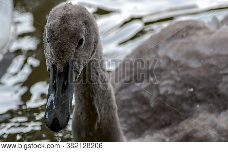Juvenile Grey Mute Swan (cygnus Olor) Front Portrait Photo. Blurred Background.
