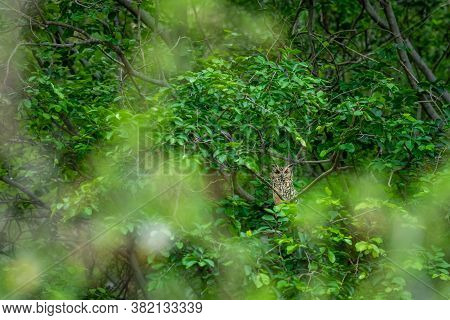 Indian Eagle Owl Or Rock Eagle Owl Or Bengal Eagle-owl Or Large Horned Owl Or Bubo Bengalensis Perch