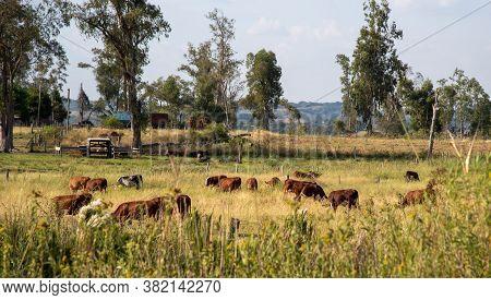 Livestock. Oxen And Cows. Devon Cattle Breed In The Interior Of Brazil. Intensive Breeding. Farm Ani