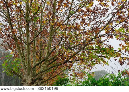Maple Trees (platanus × Hispanica) In Foggy Morning
