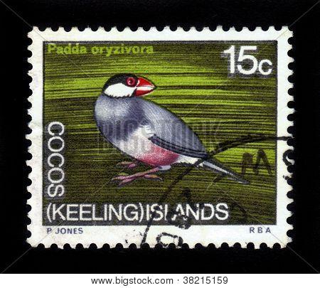 Java Sparrow ( Padda Oryzivora )