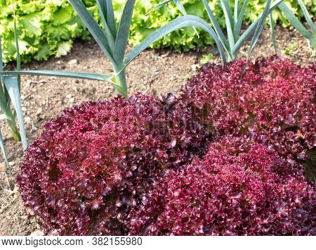 Red And Green Lettuce And Garlic Companion Plants In The Garden. Mixed Vegetable Bed. Biological Pes