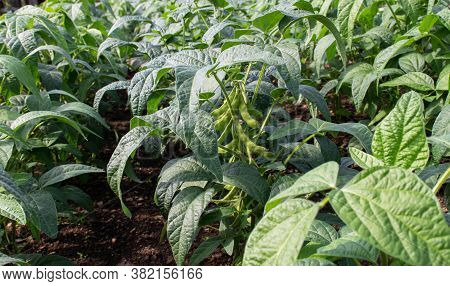 Soybean Or Soya Bean Plantation. Glycine Max Plants With Beans.