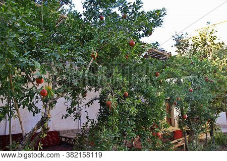 Kashan / Iran - 05 Oct 2012: The Pomegranate Fruit On Tree In Garden, Iran