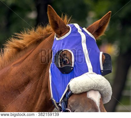 Portrait Of A Thoroughbred Horse Before The Race.