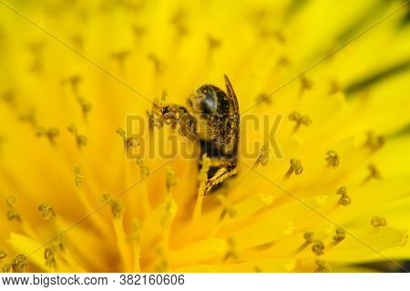 Honey Bee Covered With Pollen Looking Down In Flower.a Bee Drowned In The Pollen Of A Flower In Summ