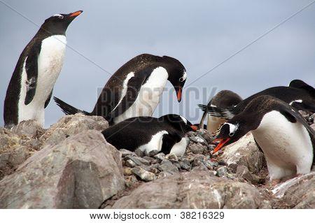 Gentoo Penguins, Nesting And Bickering