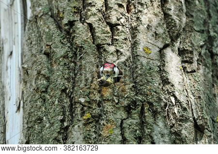 Lesser Spotted Woodpecker.a Woodpecker Sticks Out From A Tree Trunk. The Woodpecker Cleans The Hollo