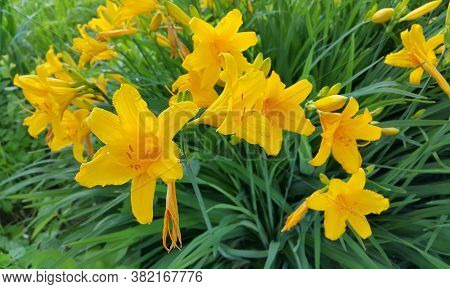Beautiful Bright Flowers Of Yellow Day-lily In A Summer Day, Close-up