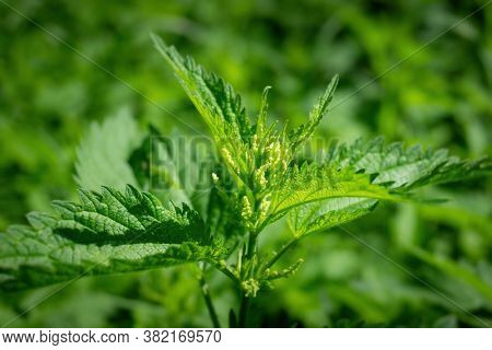 An image of a green stinging nettle
