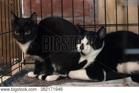 Two Scared Black And White Cats In A Cage In A Shelter