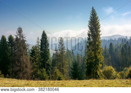 Spruce Forest On The Hillside In Autumn. Sunny And Hazy Morning In Carpathian Mountains. Ridge In Th