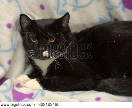 Black And White Plump European Shorthair Cat